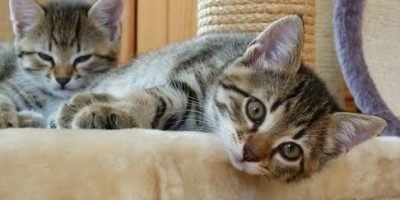 best cat breed for busy family