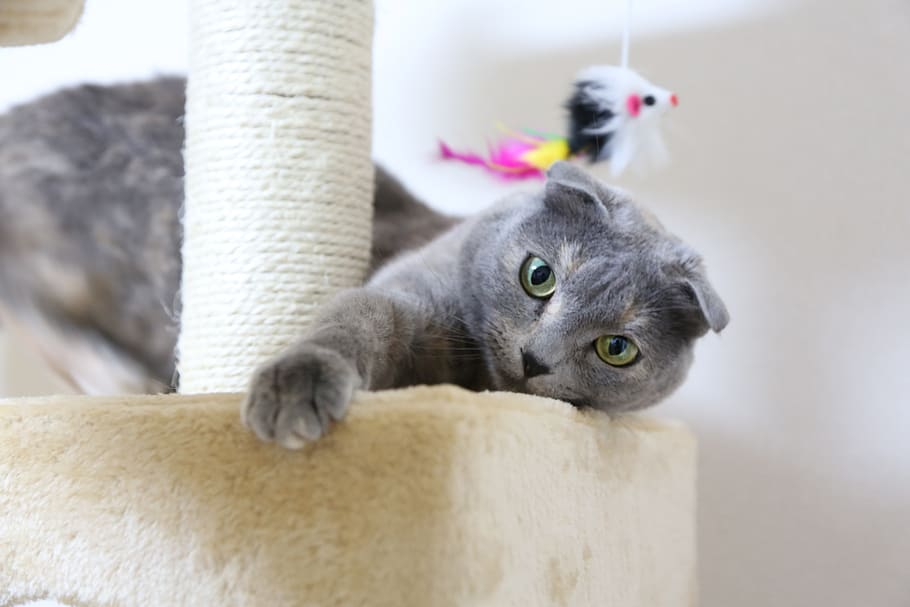 best cat breeds for anxiety