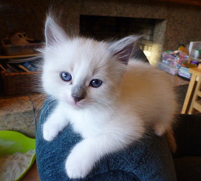 Best Food For Ragdoll Kittens