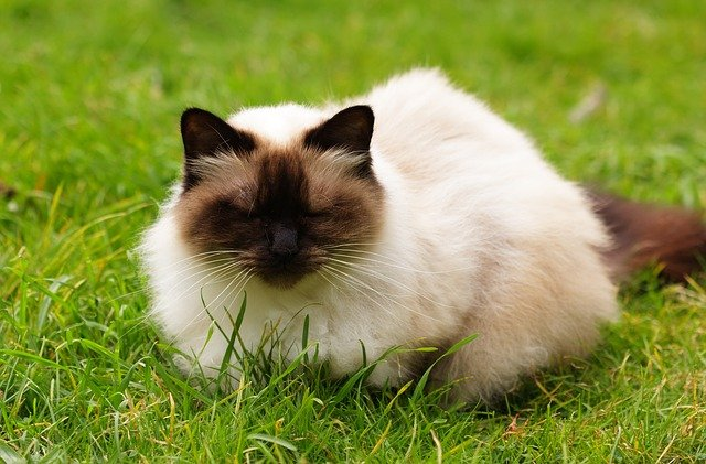 best food for himalayan cats