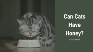 Can Cats Have Honey