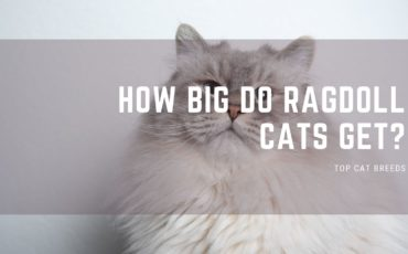 How Big Do Ragdoll Cats Get