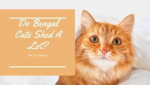 Do Bengal Cats Shed A Lot