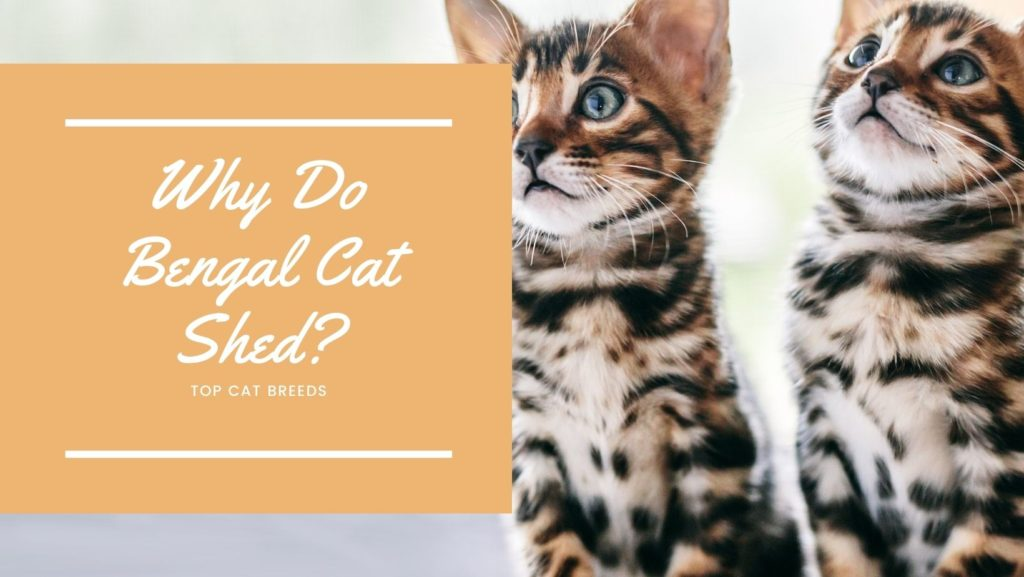 Why Do Bengal Cat Shed